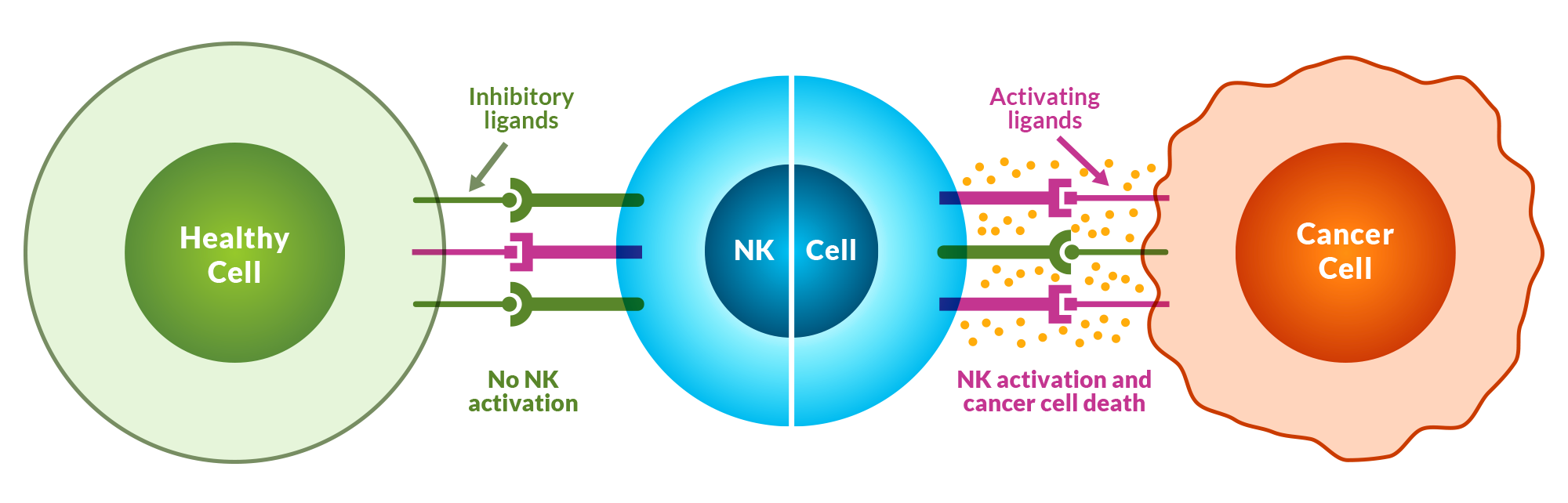 natural killer cells image